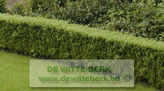 Buxus sempervirens (Palm)