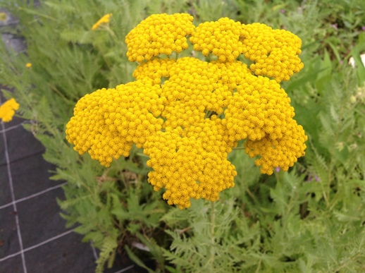 Achillea fil. ′Cloth of Gold′