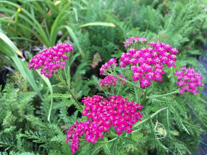Achillea mill. ′Cerise Queen′