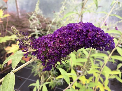 Buddleja dav. ′Black Knight′
