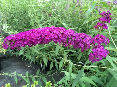 Buddleja dav. ′Royal Red′