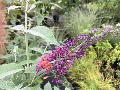 Buddleja wey. ′Flower Power′