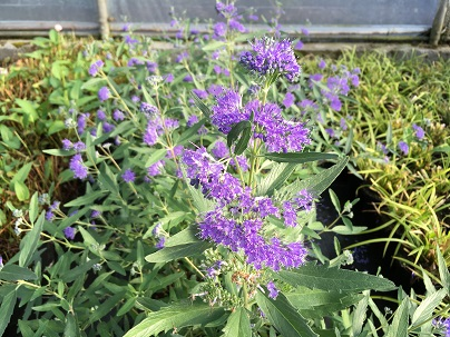 Caryopteris cland. ′Heavenly Blue′