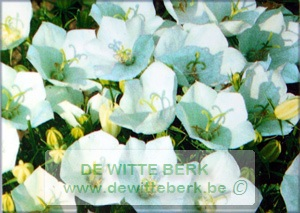 Campanula carp. ′Weisse Clips′