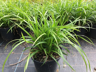 Carex foliosissima ′Irish Green′