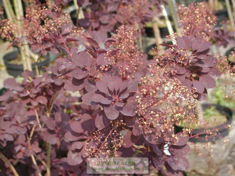 Cotinus cogg. ′Royal Purple′