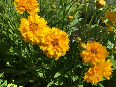 Coreopsis grand. ′Sunray′