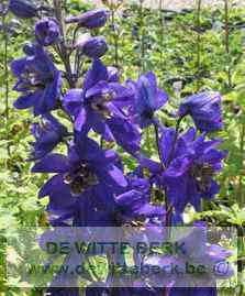 Delphinium (P) ′Black Knight′