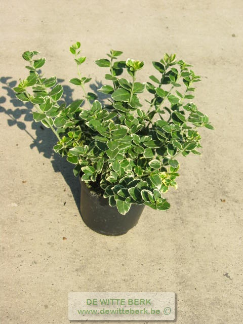 Euonymus fort. ′Emerald Gaiety′
