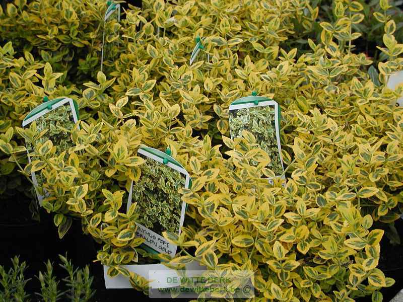 Euonymus fort. ′Emerald ′n Gold′