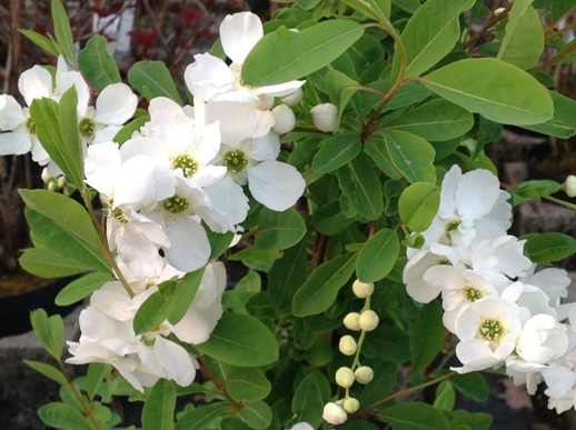 Exochorda macrantha ′The Bride′
