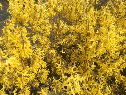 Forsythia interm. ′Lynwood′