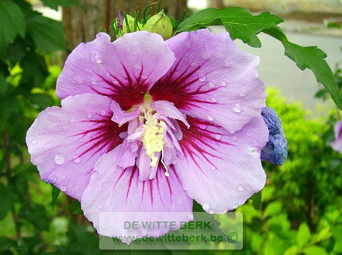 Hibiscus syr. ′Ardens′