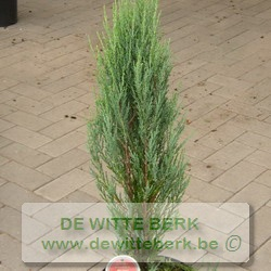 Juniperus scop. ′Blue Arrow′