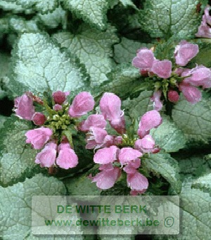 Lamium mac. ′Beacon Silver′