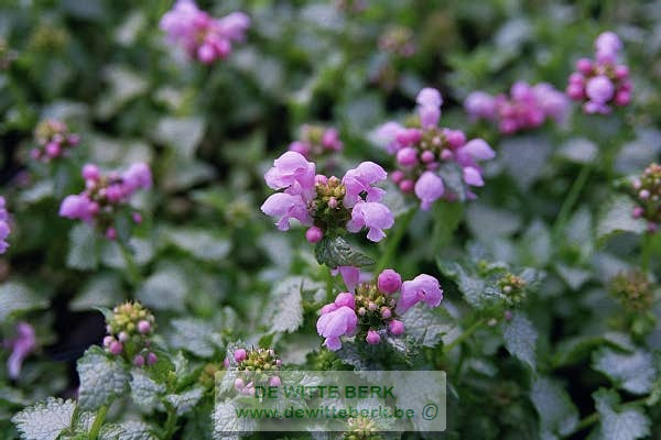 Lamium mac. ′Pink Pewter′