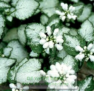 Lamium maculatum ′White Nancy′