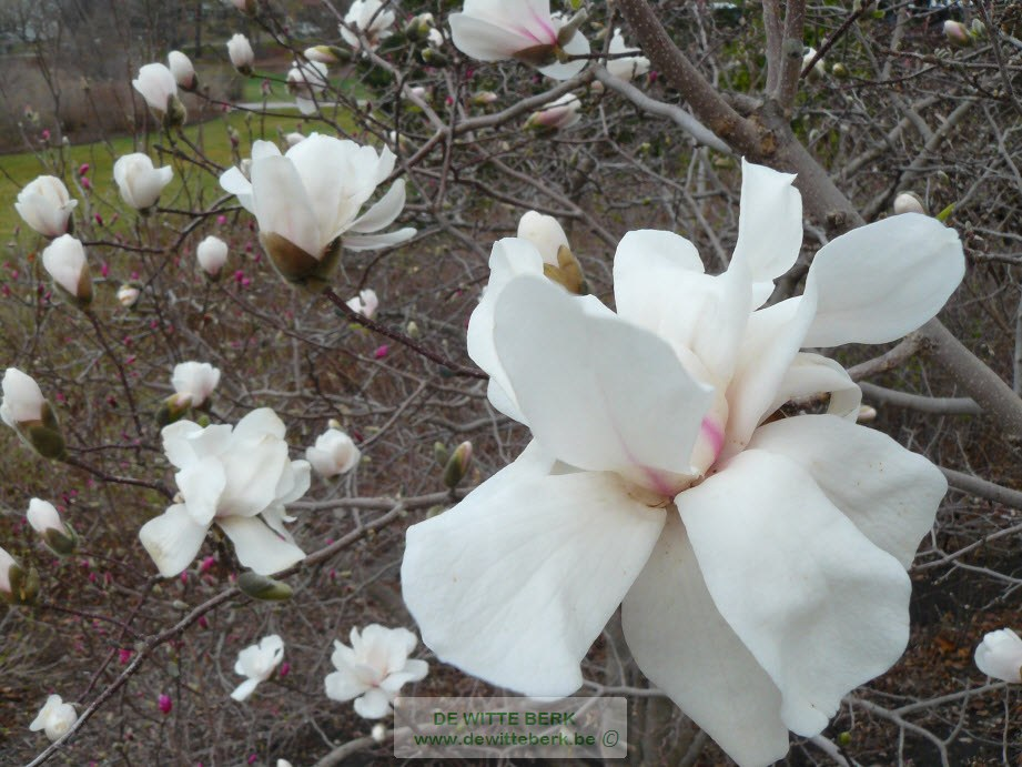 Magnolia st. ′Royal Star′