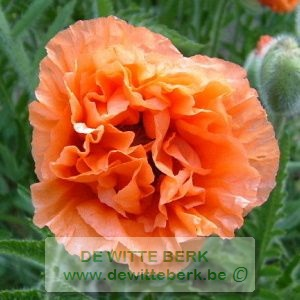 Papaver or. ′Indian Chief′