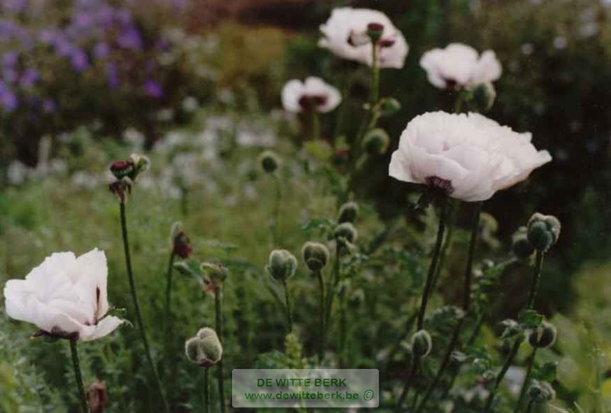 Papaver or. ′Perry′s White′