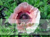 Papaver or. ′Showgirl′