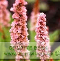 Persicaria aff. ′Donald Lowndes′