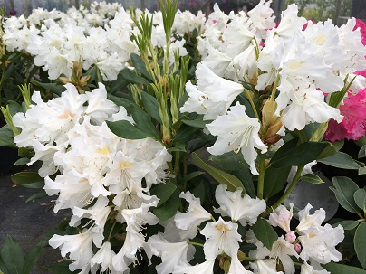 Rhododendron (T) ′Cunningh. White′