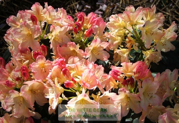 Rhododendron yak. ′Percy Wiseman′