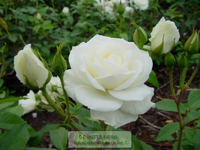 Rosa ′Snow Princess′