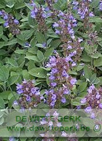 Salvia off. ′Berggarten′