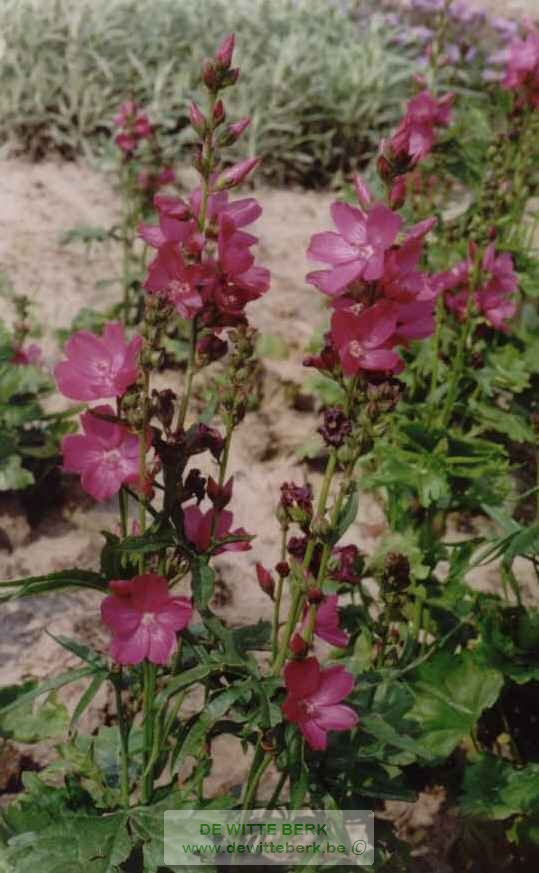 Sidalcea oregana ′Brilliant′
