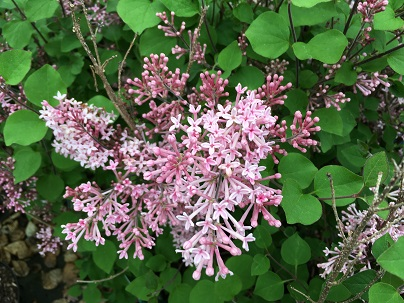 Syringa bloom. Pink Perfume ®
